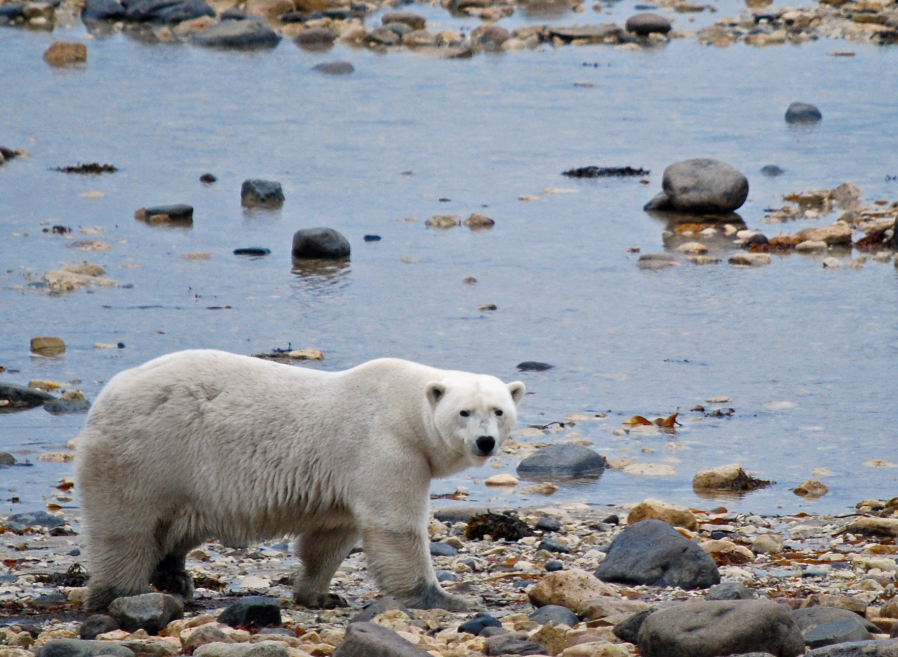 Churchill, Manitoba & Polar Bear Express Coming Soon!