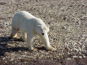 Fantasy RVers Join Polar Bear Journey